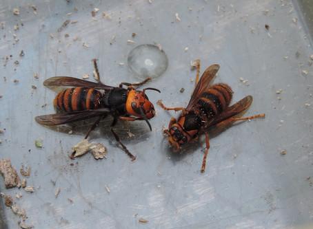 越冬女王スズメバチを探せ!