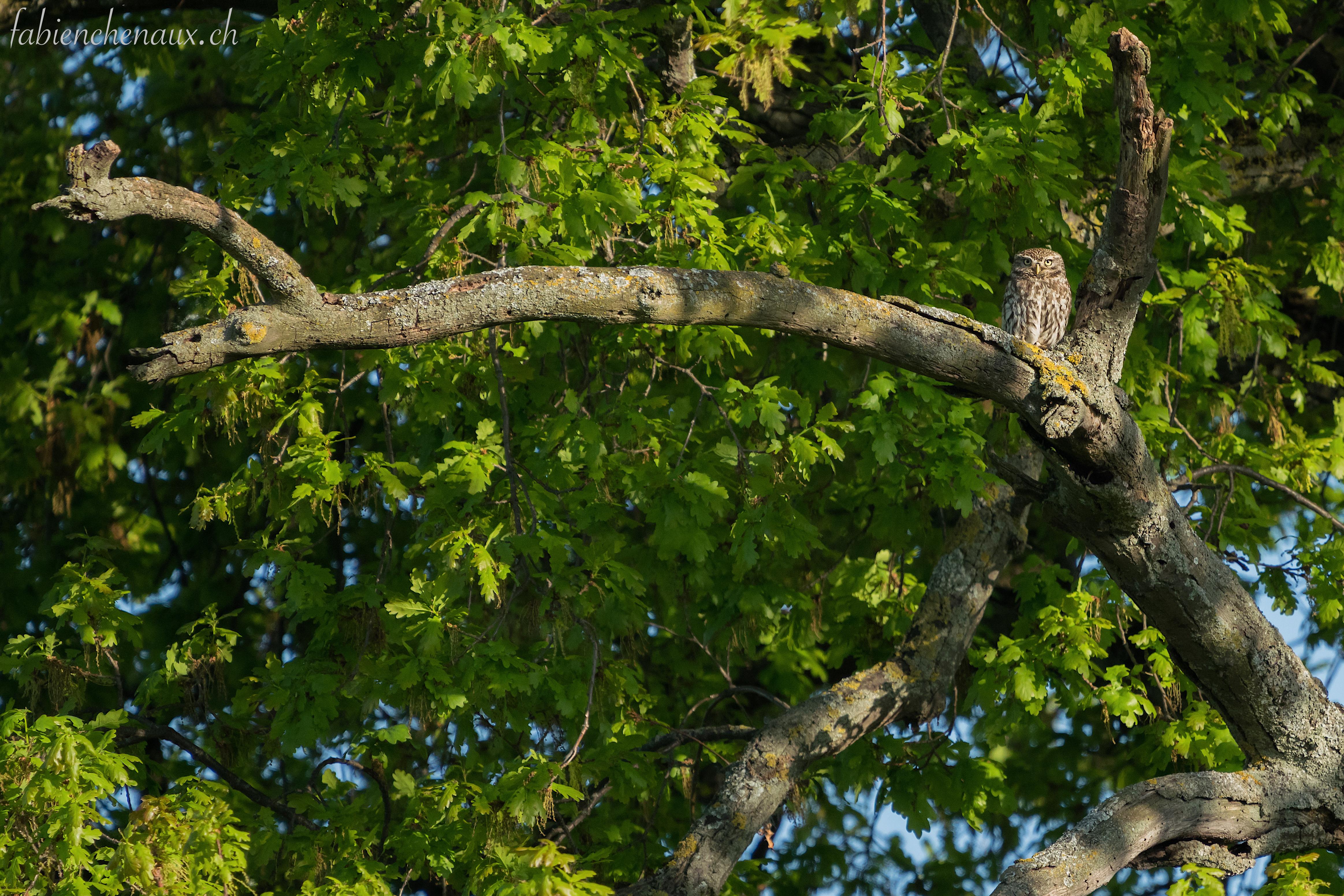 La sentinelle du vieux chêne...