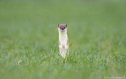 La petite hermine dans la prairie...