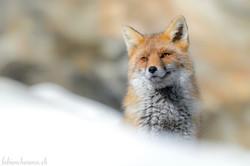 Roux regard, doux renard...