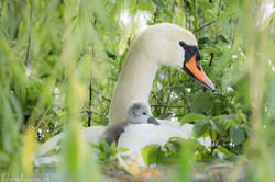 Au nid avec maman...