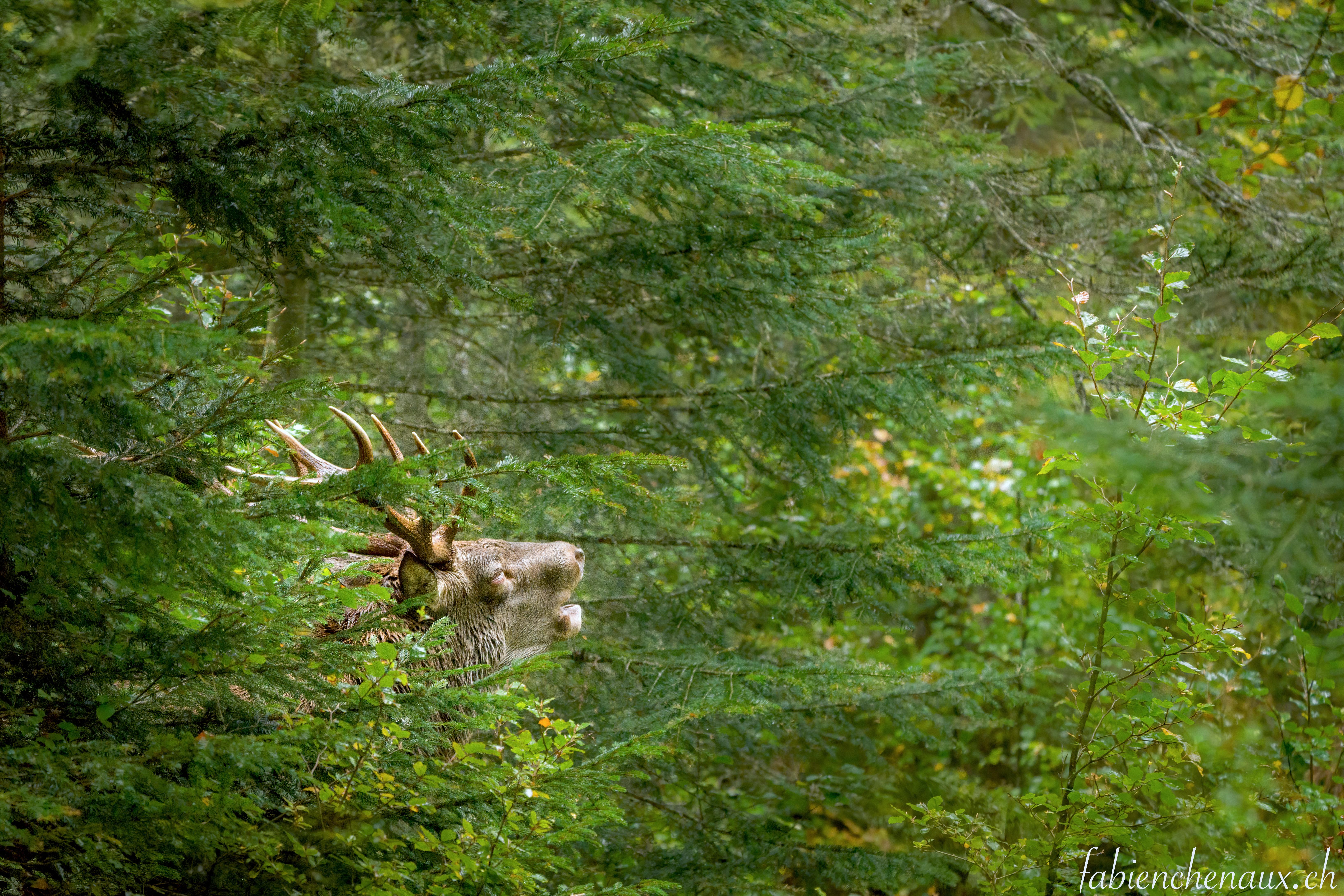 La voix de la forêt...