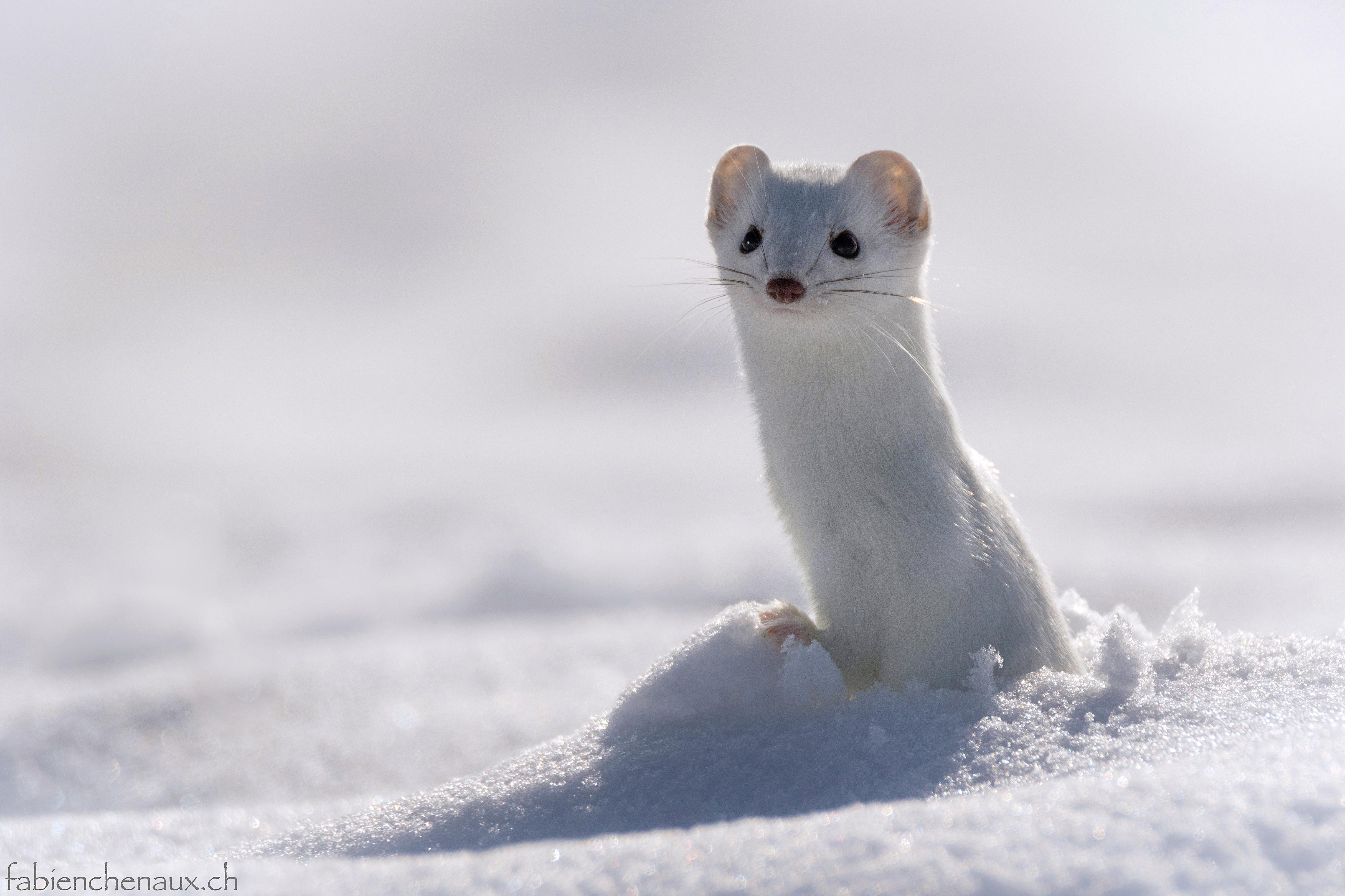 La première Perce-neige...