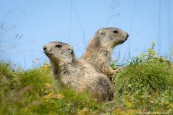 Marmottons ensemble...