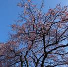 桜咲きそうです