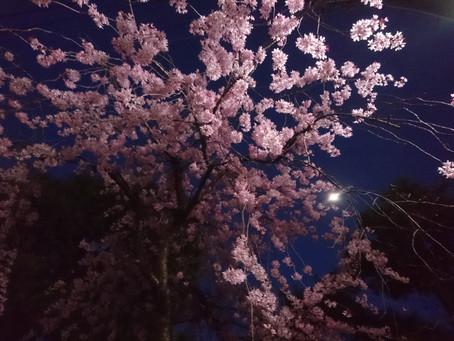 今年の桜は綺麗でした