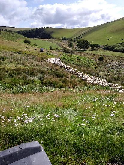 Dolwen lamb.jpg