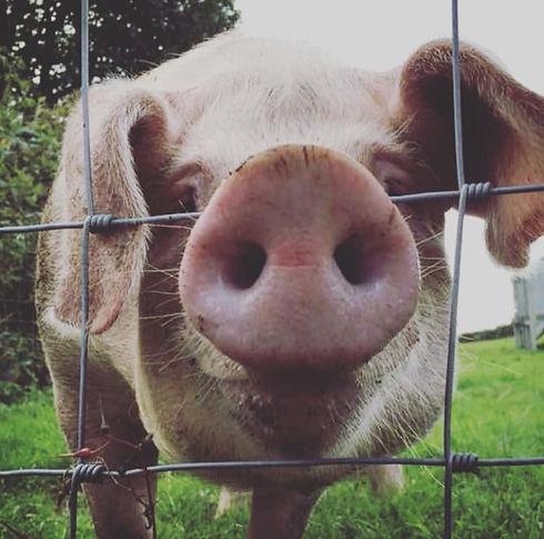 Traed Moch pigs.jpg