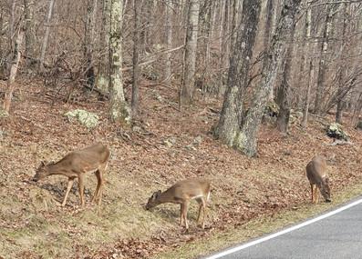 Cervos na Skyline Drive