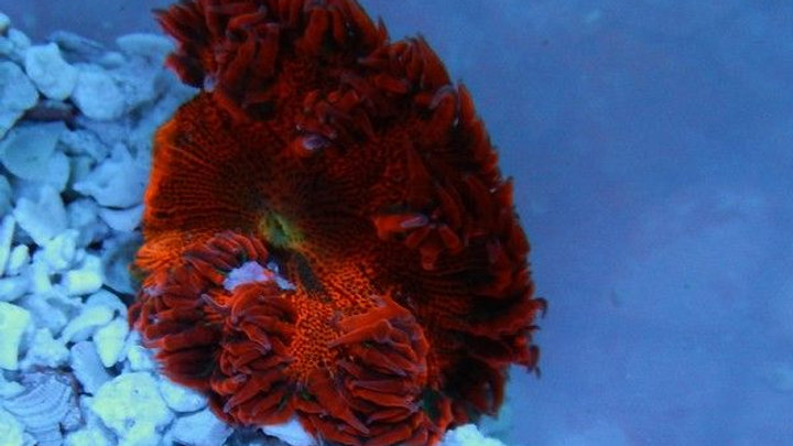 Flower Anemone: Red/Orange Super