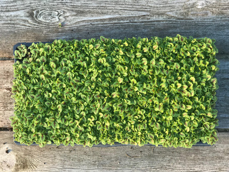 Microgreens, Big Nutrients