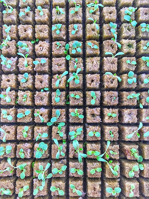 Rockwool squares with seedlings for a CoLab Farms aeroponics tower.