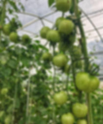 Tomatoes grow on a vine in a greenhouse.