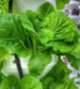 Parris Island Romaine lettuce grows in a CoLab Farms aeroponics tower.
