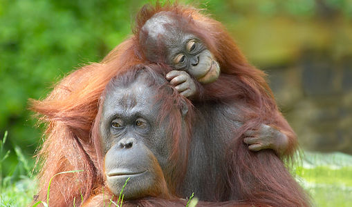 Vortragsbild2_Malaysia-Borneo Utans.jpg