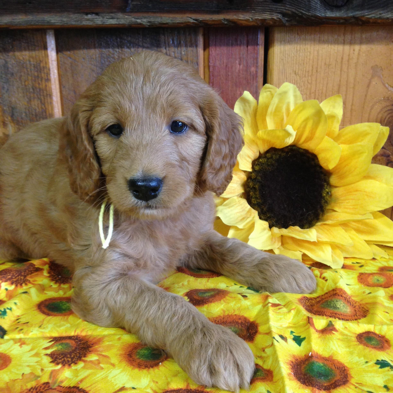 Miniature Goldendoodle