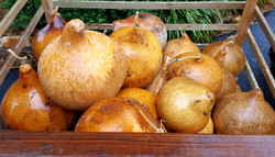 Blank Giant Bushel Gourds
