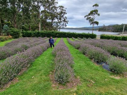 lavender farm Port Arthur