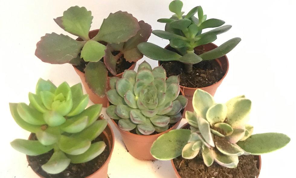 Bundle of Succulents
