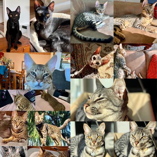 Previous savannah kittens