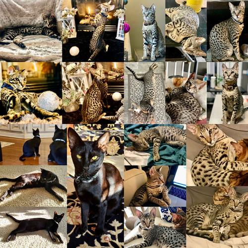 Past Savannah Kittens