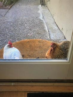 orinda chicks