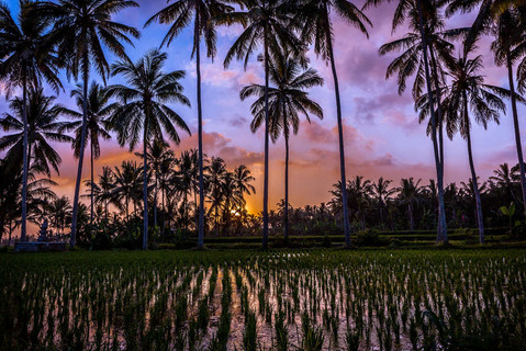 tropical-sunset-colours-over-rice-field-