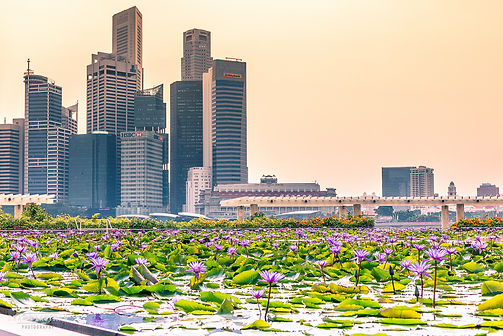 Street photograph of a view of the Singapore skyline with lily pads in the foreground