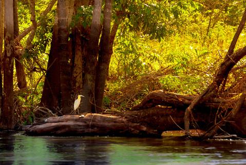 exotic-bird-tree-trunk-sunset-amazon-riv