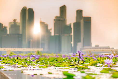 Landscape cityscape photograph of Singapore at sunset, with flowers in the foreground
