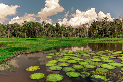 large-green-lilypads-amazon-river-rainfo