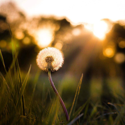 dandelion-at-sunset-in-field-cardiff-wal