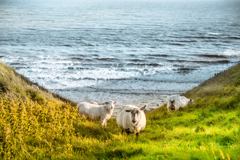 sheep-coastline-cliff-edge-ogmore-by-the