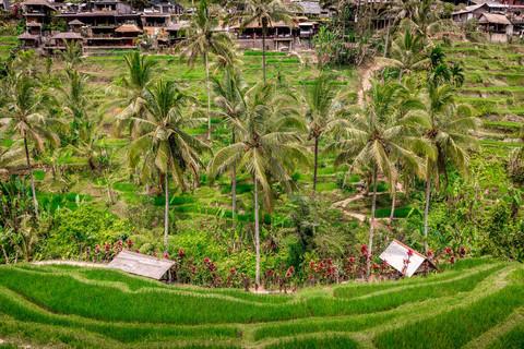 tegallalang-rice-terraces-palm-trees-ubu