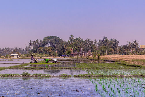 Landscape photograph of Balinese people gathering crops in Bali, Indonesia
