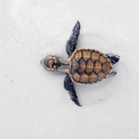 Zeeschildpadden; spreekbeurt of werkstuk
