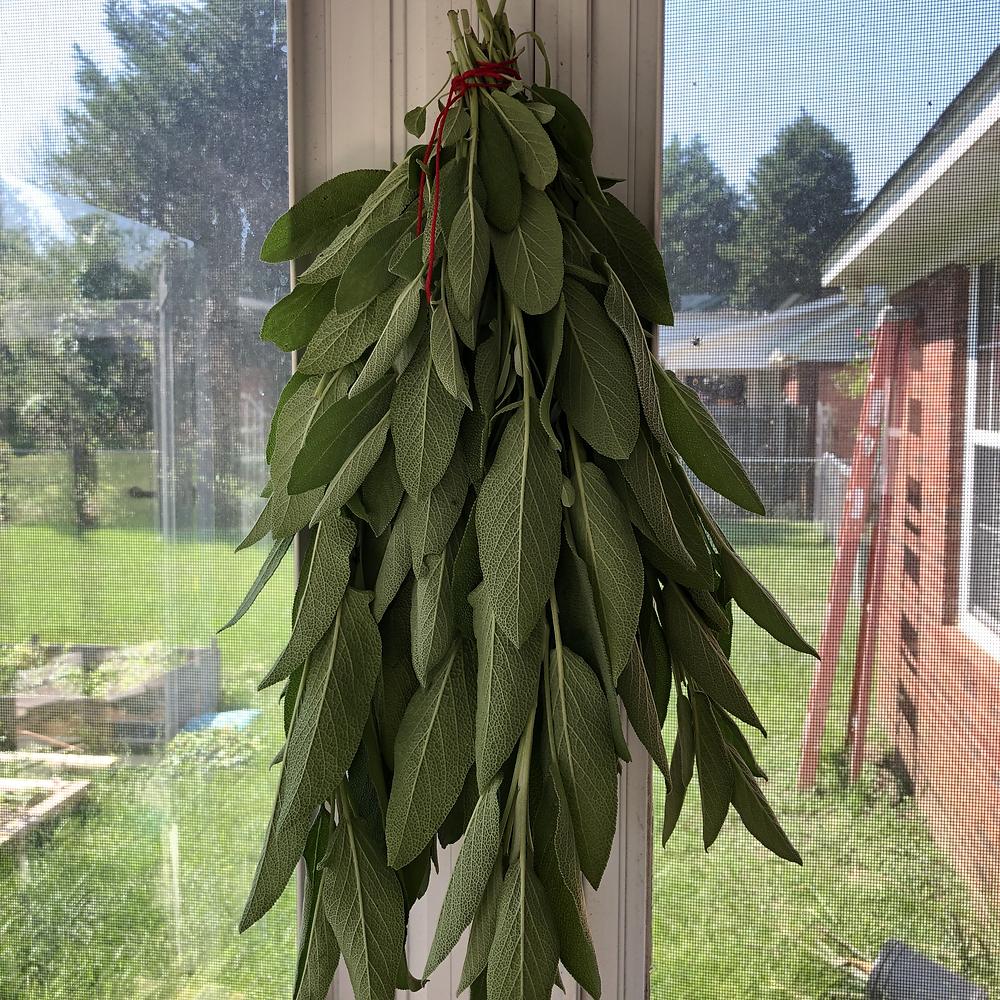 Sage - Drying