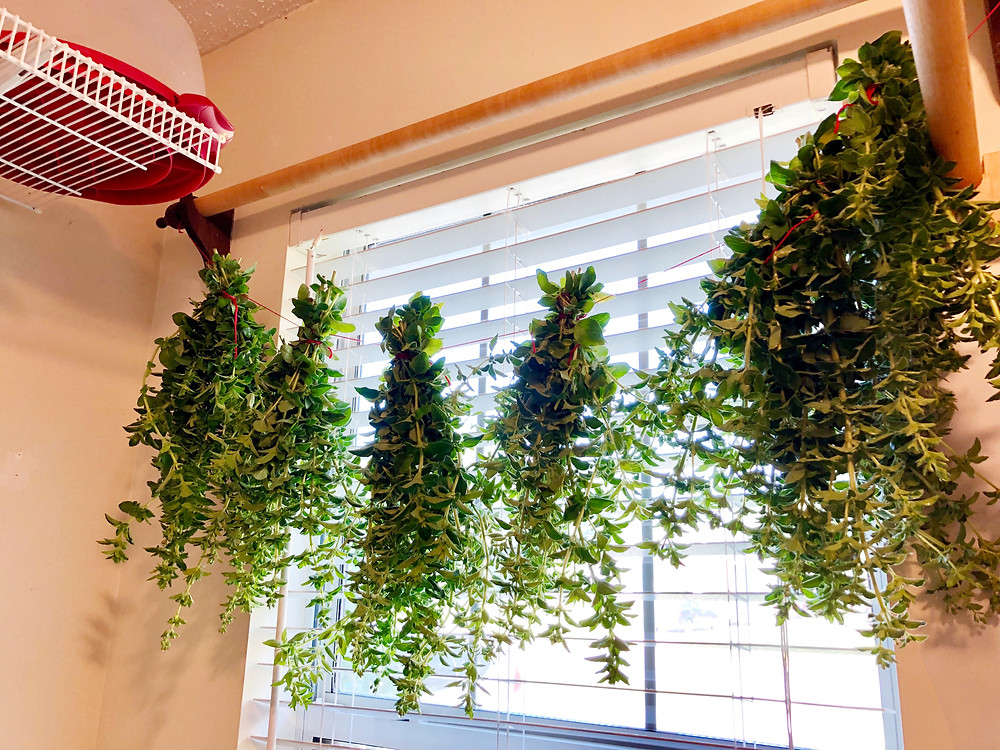 Drying Oregano
