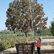 72in. Magnolia Russet (Std) 16x14