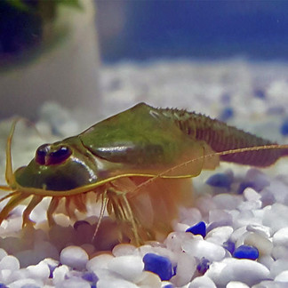 What is a Triops?