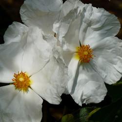 Cistus. Paper petals