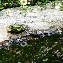 Frog at the Daisy Fountain
