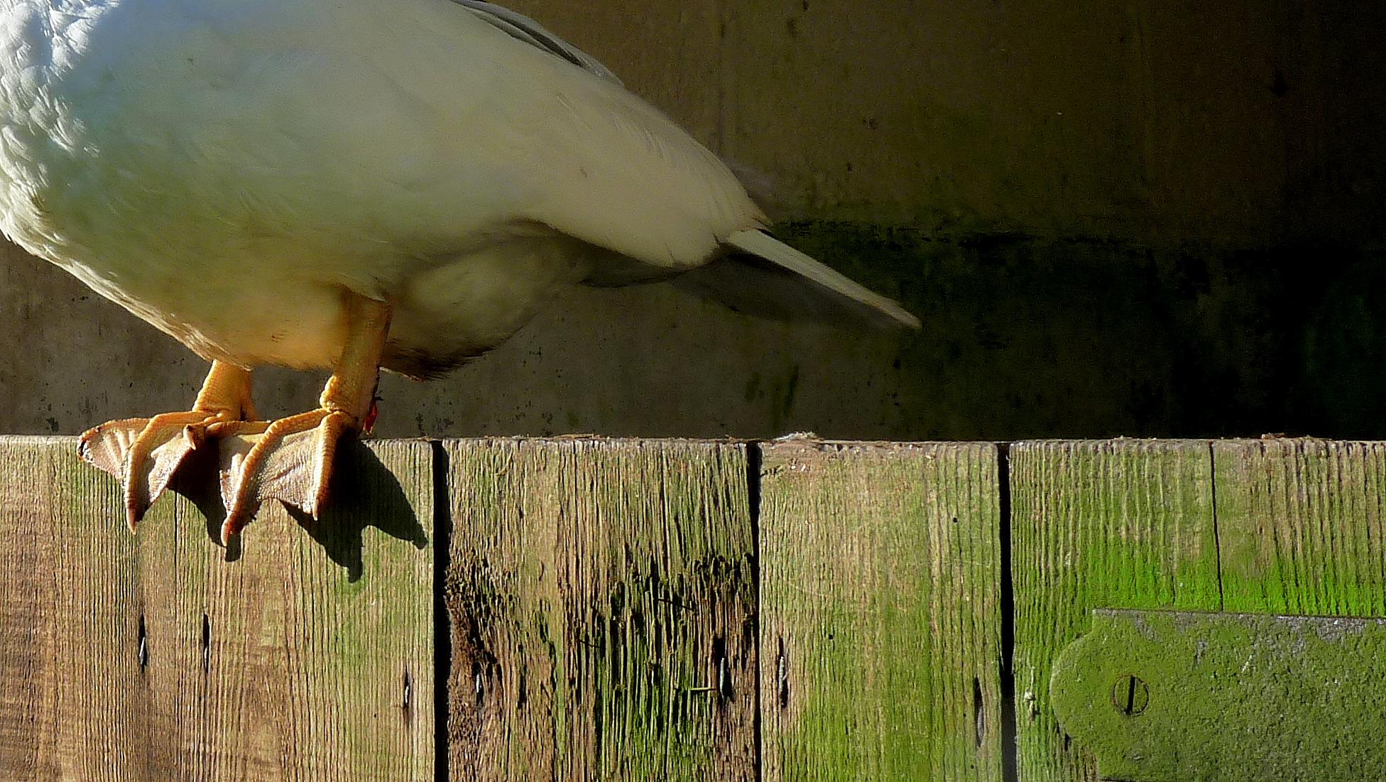 Devon duck