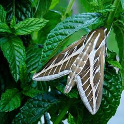 Hawk moth in Mint