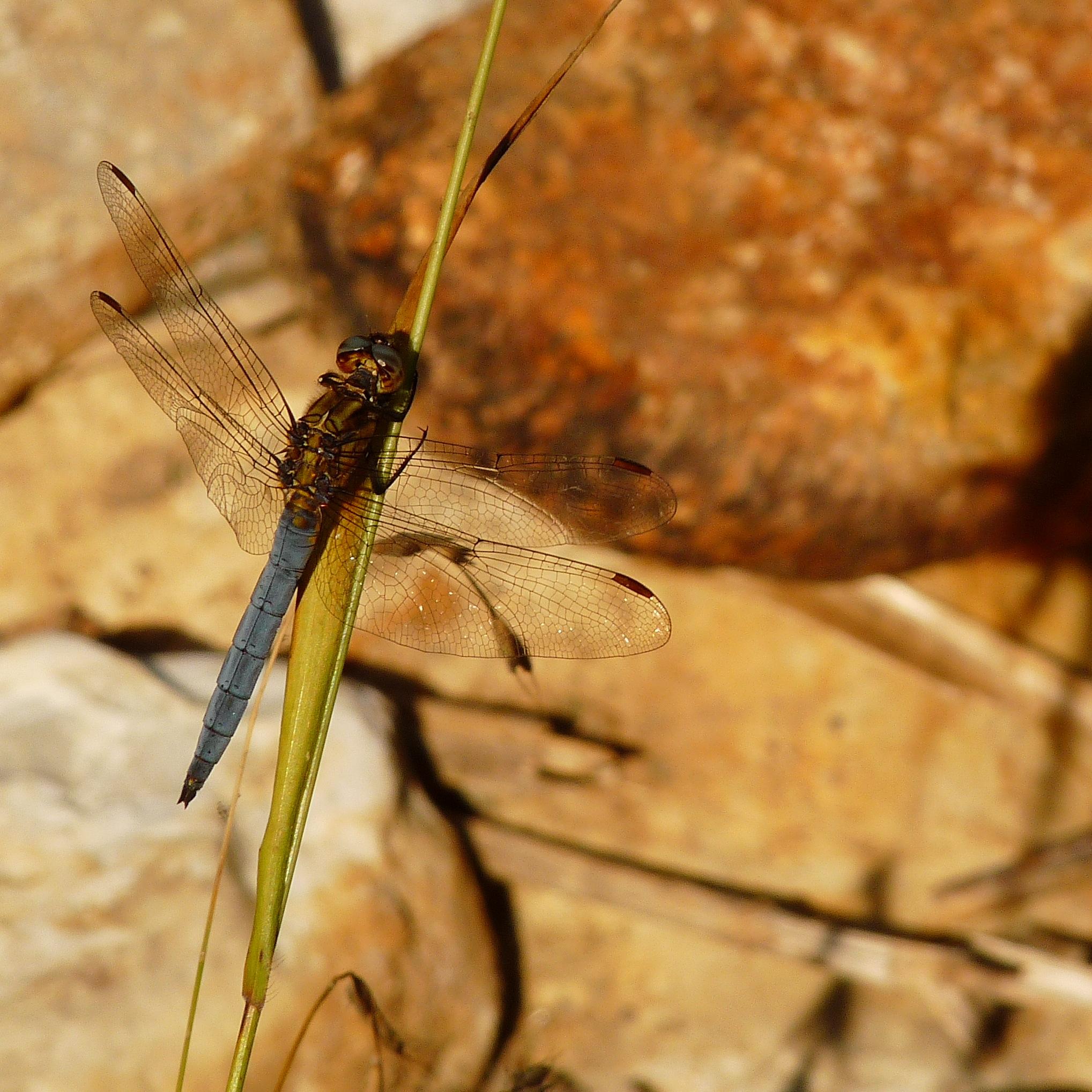 River dragonfly. Tuscany
