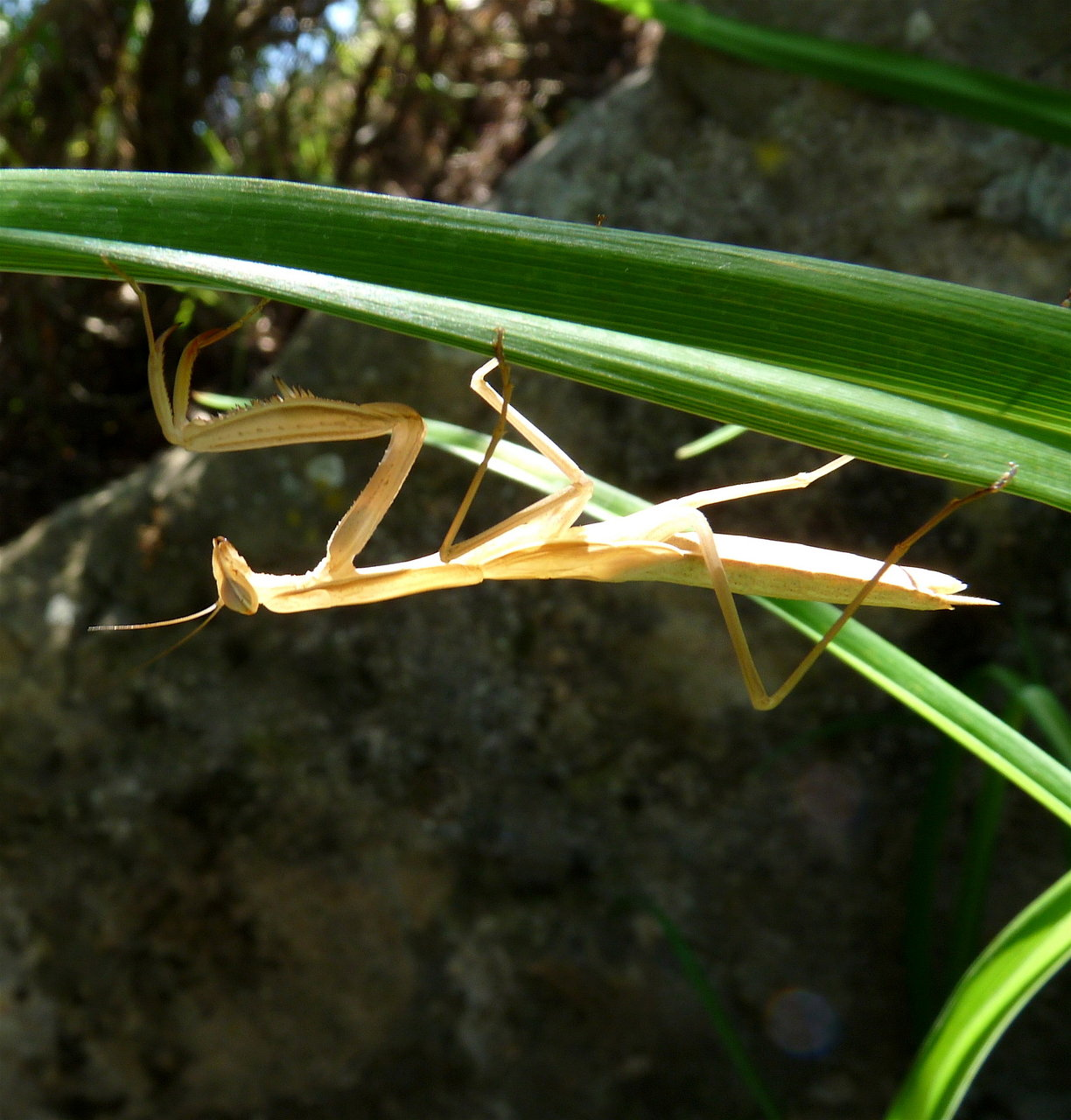 Praying Mantis, Tuscany