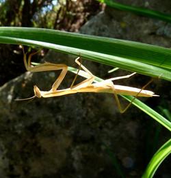 Praying Mantis, Tuscany