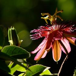 Passiflora morning light