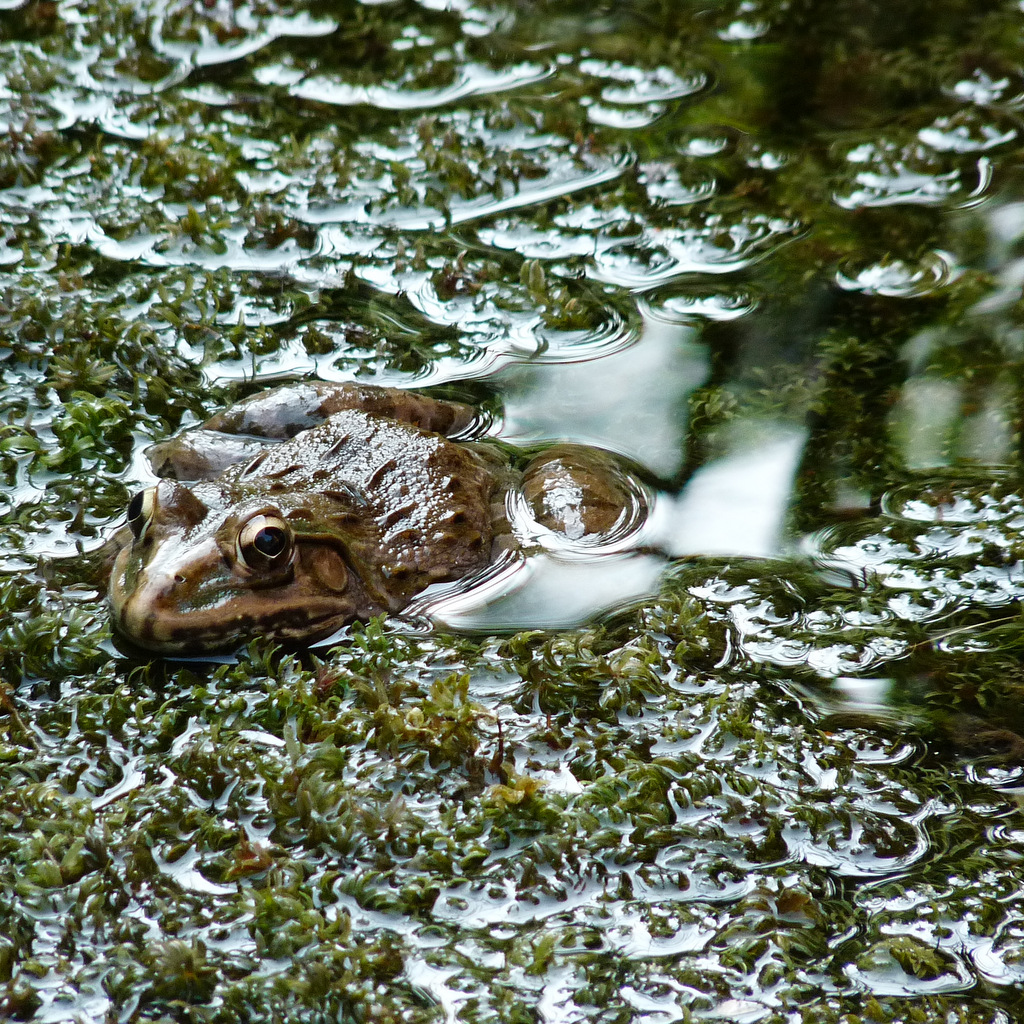 Frog in Lotus pond, India