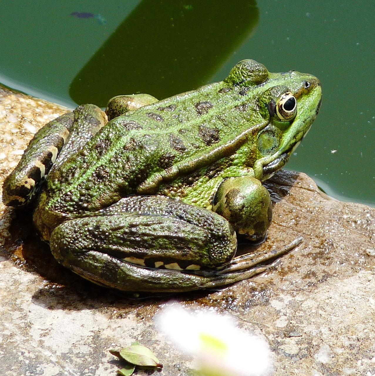 Frog pond, Tuscany